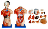 42CM女性軀干模型15件