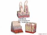 消化管道构造模型,消化管道模型