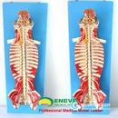 ENOVO颐诺医学人体脊柱椎管解剖脊髓神经麻醉脊腰椎微创骨科模型