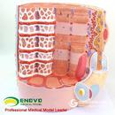 ENOVO颐诺人体肌纤维放大模型显微解剖模型医学教学人体解剖