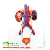ENOVO頤諾人體泌尿系統模型輸尿管膀胱尿道模型腎解剖模型醫學