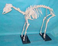 羊骨骼模型 Sheep Skeleton Model