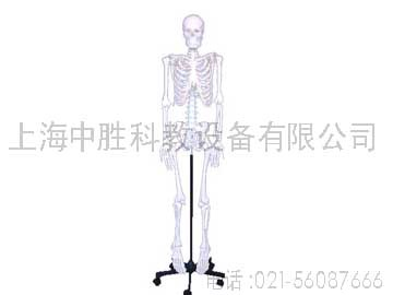 解剖模型-人体骨骼模型