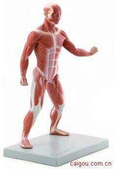 40公分肌肉人