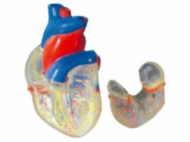 透明心脏模型