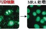 支原体去除试剂(MRA) -支原体抗生素 MP公司 货号093050044
