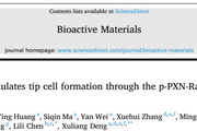 Bioactive Materials:血管生成的重大突破——基质硬度通过 p-PXN-Rac1-YAP 信号轴调节尖端细胞形成