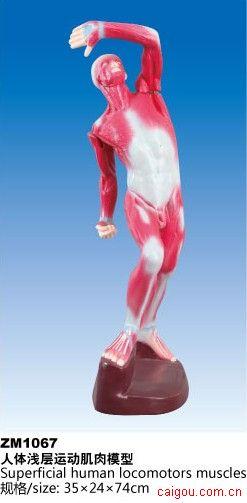 人体浅层运动肌肉模型