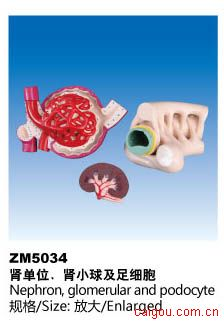 肾单位肾小球及足细胞