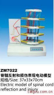 脊髓反射和损伤变现电动模型